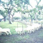 Queijo de Ovelha